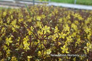 Lance-leaved loosestrife tolerates sandy or rocky soils and is a good soil stabilizer.