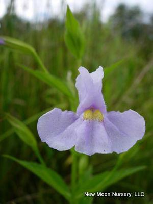 Found along streams, ponds, in swamps, and wet meadows square stem monkey flower spreads by rhizomes and self-seeding.