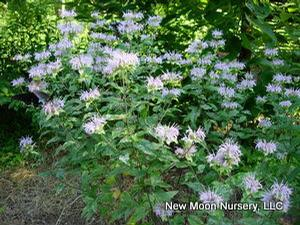 Wild bergamot offers a variety of benefits such as soil stabilization, fragrant flowers, and food source for butterflies and hummingbirds. Drought tolerant.