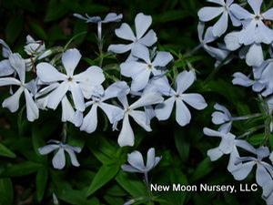 Woodland phlox makes an excellent groundcover, provides soil stabilization, and attracts birds, bees, and butterflies.