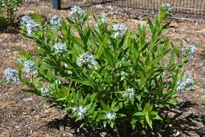 Bluestar is suitable for use in rain gardens, ornamental landscapes, and for attracting pollinators.
