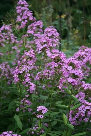 Excellent bird and butterfly plant, rhizomatous and fragrant perennial.