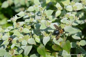 Butterflies and other pollinators love mountain mint. Provides soil stabilization as well.