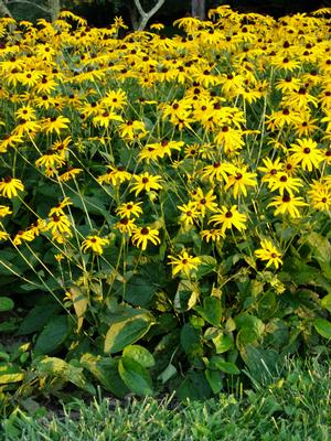 Black-eyed Susan is a good perennial choice for butterflies and other pollinators, naturalizing, and rain gardens.