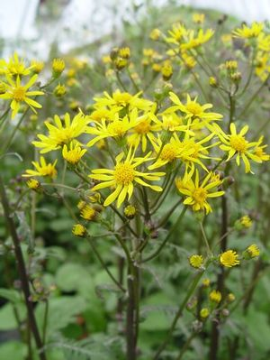 Underused, golden ragwort can be used as a groundcover and for soil stabilization.