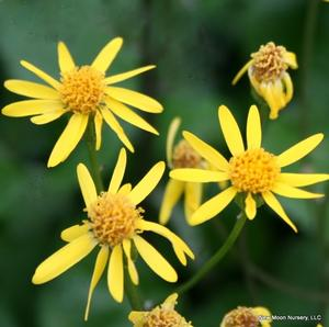 Smalls ragwort is an upland perennial that can form a nice groundcover.