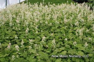 Foam flower is an excellent clump forming groundcover for the woodland or shade garden.