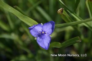 Ohio spiderwort makes a great addition to the border or naturalized garden.