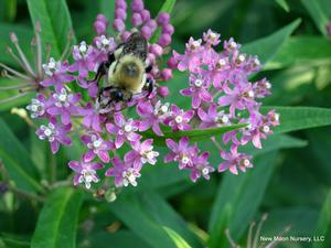 Swamp milkweed thrives in wet habitats such as marshes, floodplains, lakes, and ponds.