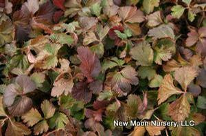 An evergreen groundcover, barren strawberry tolerates a wide range of soils. Good soil stabilizer.