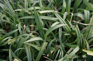 A good liriope replacement, blue wood sedge is best for moist areas, such as stream and pond margins.