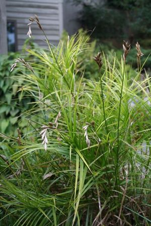 Palm sedge forms dense clumps and is a good choice for wetland areas and stormwater management projects.