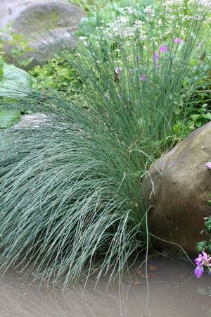 A wetland species, tussock sedge is also a nice choice for the ornamental water garden.