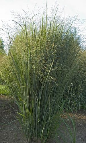 'Northwind' switch grass is drought tolerant, upright, and good for soil stabilization.