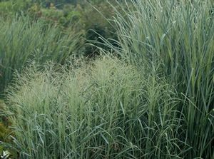 Blue selection of switchgrass, which is excellent for soil stabilization and erosion control.