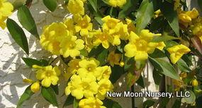 A semi-evergreen vine, Carolina jasmine produces fragrant trumpets attractive to a variety of pollinators.