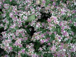 Calico aster can be used for rain gardens, bird and butterfly gardens, and for restoration and conservation.
