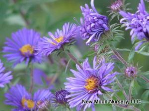 New England aster is a perennial suited for wet spaces and good for use in the rain garden.