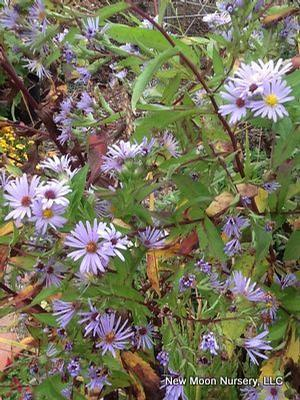 A soil stabilizer, purple stemmed aster is a great naturalizer plant for moist areas.