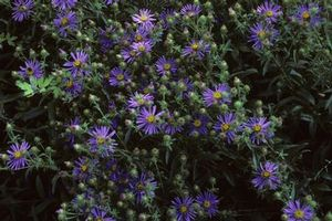 Perennial for open meadows, along stream and pond edges, showy aster offers bright, showy blooms.