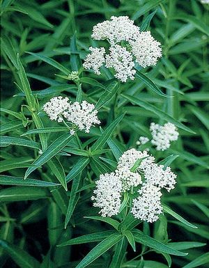 A white selection of swamp milkweed, which thrives in wet habitats such as marshes, floodplains, lakes, and ponds.