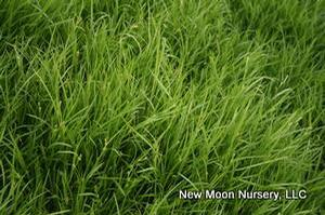 Creek sedge is compact, excellent for woodland areas and shade gardens.