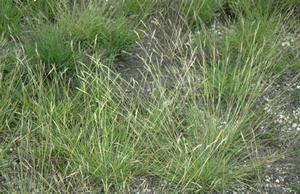 Poverty oat grass is a cool season bunch grass, it has shown promise for use as a turf grass.