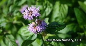 Perennial for pollinators, downy wood mint is most commonly found in open areas.