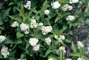New Jersey tea is a small shrub with ornamental, fragrant flowers. Benefits pollinators, drought tolerant.