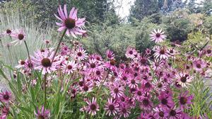 Tennessee coneflower is very tough perennial, tolerating drought, heat, humidity, and poor soils.
