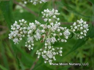 Boneset is a wetland species for use in restoration and rain gardens.