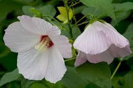 For wet spaces, swamp mallow is naturally found in wetlands.