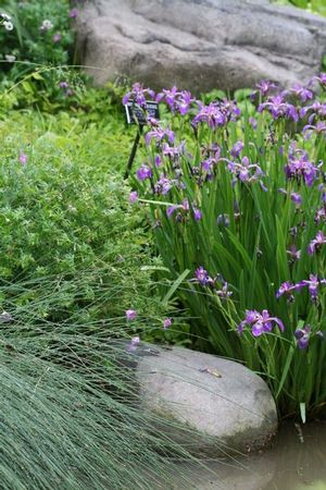An aquatic emergent, blue flag makes a nice addition to a water garden; excellent for stormwater management and wetland areas.