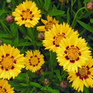 Coreopsis lanceolata 'Baby Gold' - Baby Gold lanceleaf tickseed from New Moon Nurseries