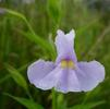 Square stem monkey flower