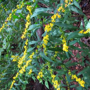 Blue-stem goldenrod
