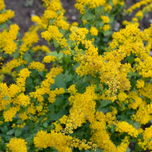 Creeping goldenrod