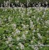 Creeping foam flower
