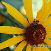 Heliopsis helianthiodes 'Summer Nights'