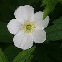 Meadow anemone (No Advance Orders)