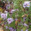 Aster puniceus (sold out until 2021)