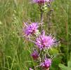 Scaly blazing star