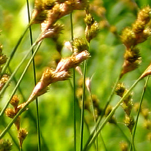Prairie sedge