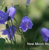 Harebell (No Advance Orders)