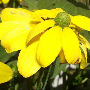 Autumn Sun cut-leaf coneflower