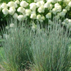 Jazz little bluestem