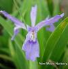 Dwarf Crested Iris (No Advance Orders)
