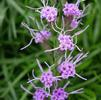 Appalachian blazing star